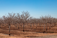 A New Mexico Nut Farm In Winter, With Bare Trees