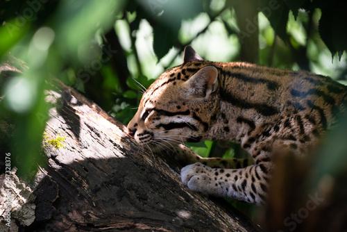 Plakat Ocelot w gałęziach drzew dżungli