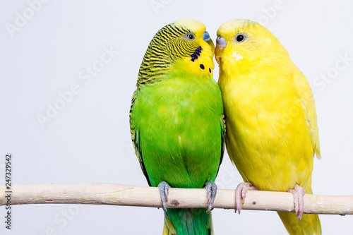 Tuinposter Papegaai budgerigar on white background isolate