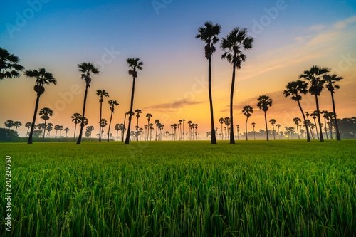 Foto  Silhouette of Twin Sugar Palm Tree in Green Rice Field with Sunrise Sky