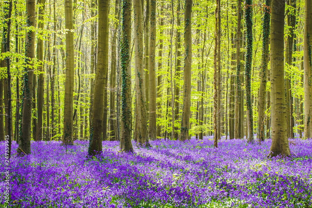 Fototapety, obrazy: Hallerbos forest during springtime with bluebells flowers and green trees. Halle, Bruxelles, Belgium.