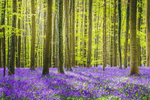 Hallerbos Forest During Springtime With Bluebells Flowers And Green Trees. Halle, Bruxelles, Belgium.