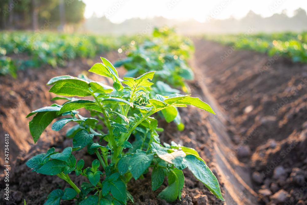 Fototapeta potato plant field