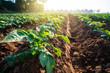 canvas print picture - potato plant field