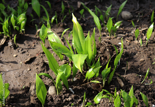 Fotografía  Young leaves of Ramsons, Allium ursinum,in early spring, allium ursinum is a bulbous, perennial herbaceous monocot, that reproduces primarily by seed
