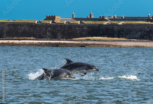 Stampa su Tela Team Of Bottlenose Dolphin Jumping In The Moray Firth In Front Of Fort George Ne