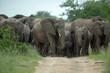 Elephant herd in panic