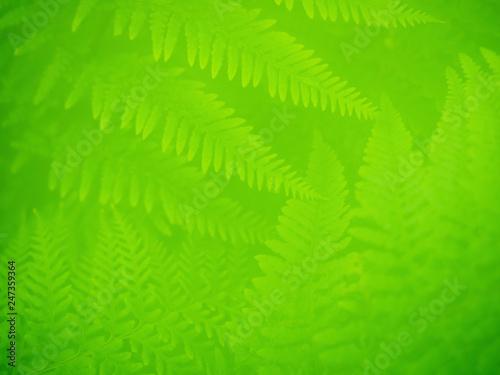 Photo  Muster mit mehreren Farnwedeln.