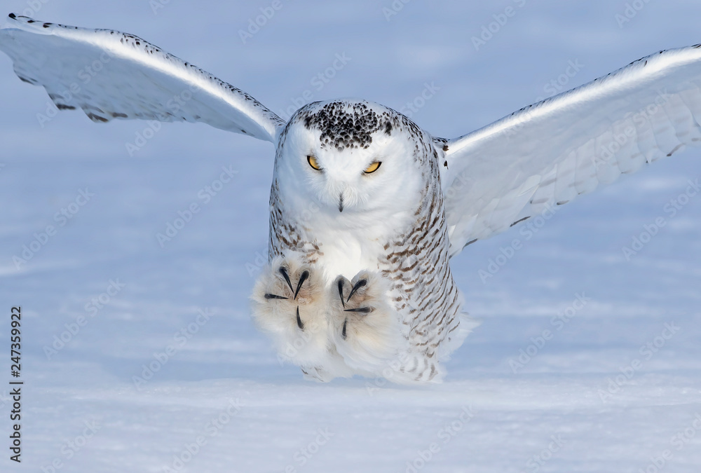 Male Snowy owl (Bubo scandiacus) with claws out prepares to strike its prey on an open sunny snowy cornfield in Ottawa, Canada