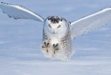 Male Snowy Owl (Bubo Scandiacu...
