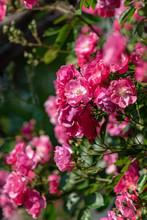 Pink Rose Flowers, In Full Bloom