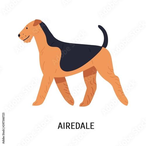 Photo Airedale, Bingley or Waterside Terrier