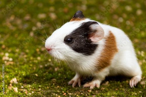 Fotografía  guinea pig