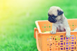 Leinwanddruck Bild - Cute puppy brown Pug in orange basket