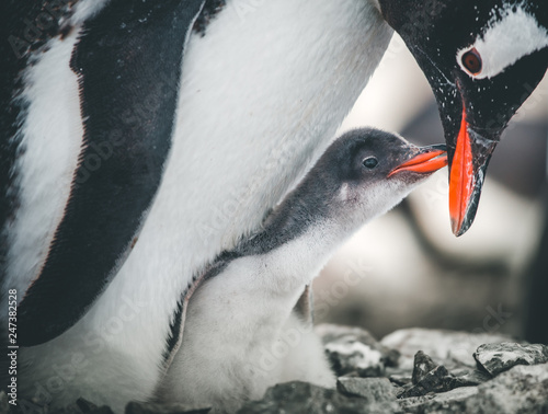 Poster Antarctique Close-up adult and baby penguins. Antarctica wildlife. The mother penguin cares about the child. White and black image with bright red details. The behavior of the wild animals. Cute scene.
