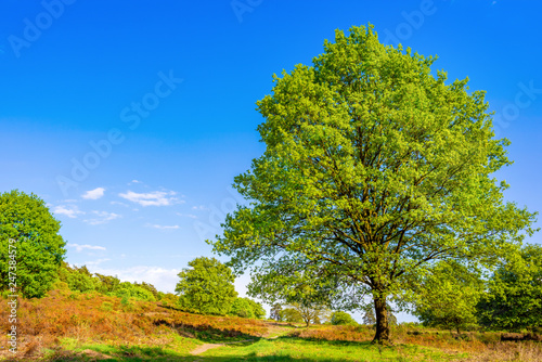 Landscape in spring with big oak tree and hiking trail