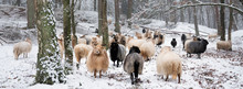 Flock Of Sheep In Snow Between...