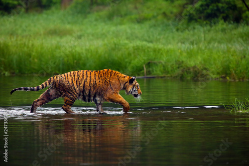 The Siberian tiger (Panthera tigris tigris),also called Amur tiger (Panthera tigris altaica) walking through the water. Beautiful female Siberian tiger in warm summer.