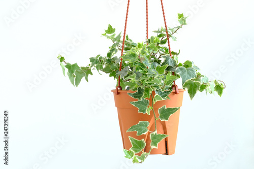 Canvas-taulu English ivy plant in pot, Indoor plant