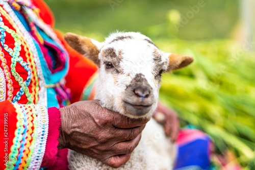 Foto auf AluDibond Lama Little white goat holding by hand of woman in national clothes in Peru