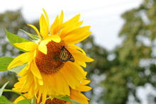 A Monarch Butterfly Flutters Around A Pair Of Giant Sunflowers Blooming In My Yard.