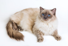 Fluffy Cat Ragdoll On A White ...