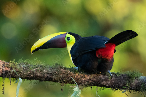 Poster Toekan Keel-billed Toucan - Ramphastos sulfuratus, large colorful toucan from Costa Rica forest with very colored beak.