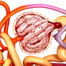 Glomerulus Structure In A Kidney, Illustration