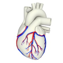 Coronary Blood Vessels, Illustration