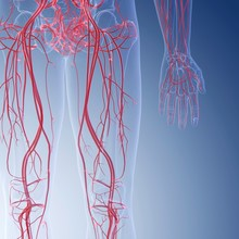 Illustration Of The Blood Vessels Of The Legs