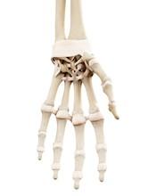 Close Up Of Human Hand Bones
