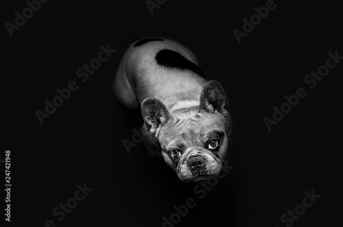 Foto op Plexiglas Franse bulldog Cute french bulldog watching at you