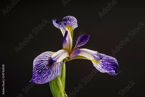 Deurstickers Iris Salonique bloom. Beautiful spring flower open petal. White with purple edges iris blossom blooming.