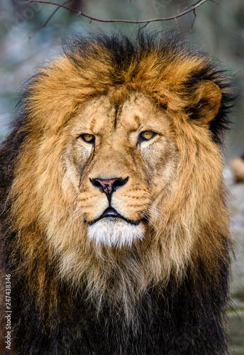 Staande foto Leeuw Lion posing for portrait