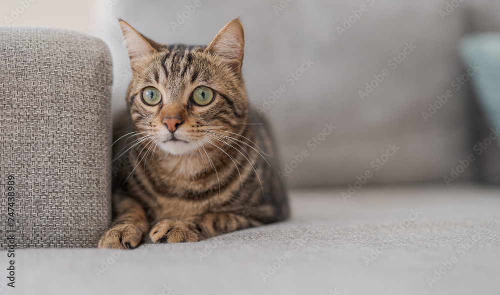 Fototapety, obrazy: Beautiful short hair cat lying on the sofa at home