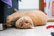 A Cute Red Haired Tabby Tomcat Is Lying On The Floor And Touching The Sofa With His Paws.