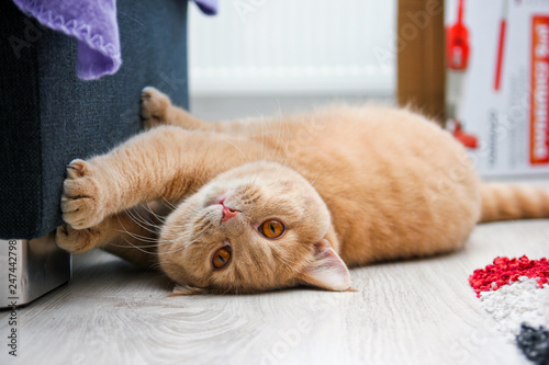 A cute red haired tabby tomcat is lying on the floor and touching the sofa with his paws Wallpaper Mural