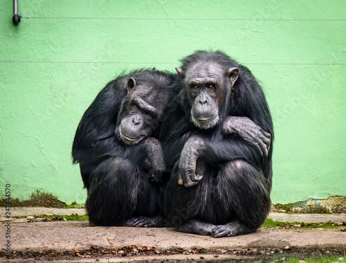 Canvas Print Common chimpanzee (Pan troglodytes), also known as the robust chimpanzee