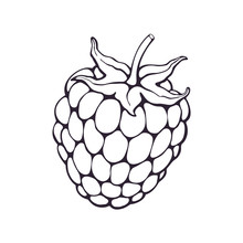 Vector Illustration. Hand Drawn Doodle Of Blackberry Or Raspberry Fruit With Stem. Healthy Diet And Vegetarian Food. Cartoon Sketch. Decoration For Packaging, Menus. Isolated On White Background