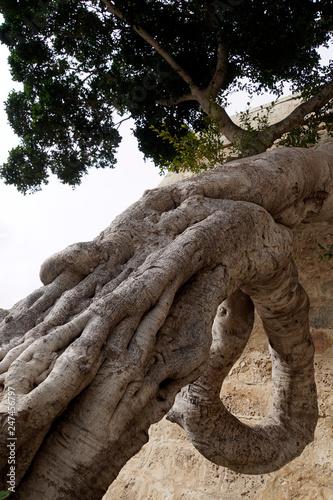Fotografie, Obraz  Skurril gewachsener Lorbeerbaum vor dem Griechen-Tor