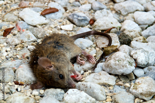 Fényképezés Eye level view of dead mouse appearing to be looking at viewer on ground being eaten by ants