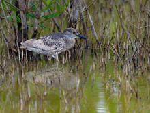 Yellow-crowned Night Heron Juv...