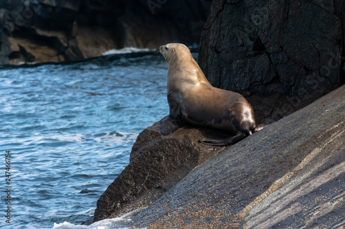 Photo  Steller sea lion resting on boulder outcrop on cliffs;  Alaska