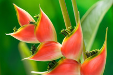 Red Heliconia Flower Macro Isolated On Green Background