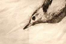 Sketch Of The White-Breasted N...