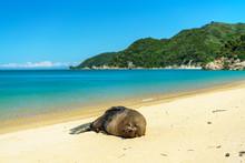 Seal On A Beach, Abel Tasman National Park, New Zealand 1