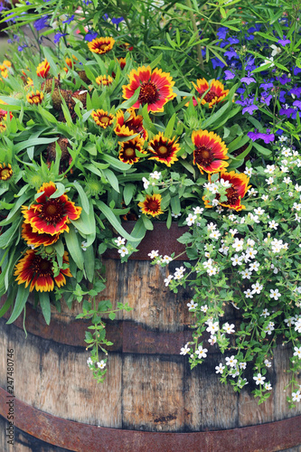 Blanket Flower In Whiskey Barrel Basket With Trailing Lobelia And