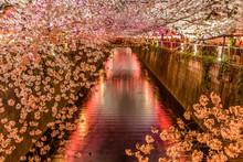 Light Up Cherry Blossom Sakura At Meguro River In Tokyo Japan
