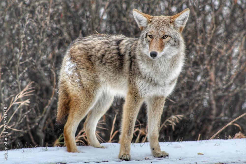Fototapeta Coyote In The Wild