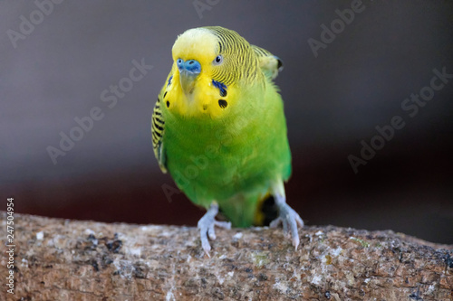 Small parrot yellow head green body angry action stand on wood Canvas-taulu